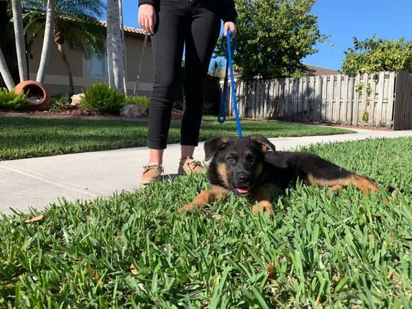 Male puppy black and red !! – $1800 (Miami)