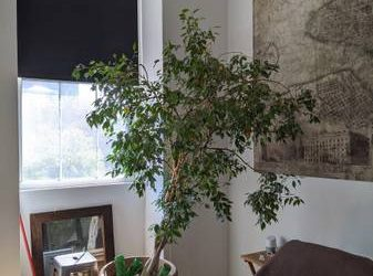 Large potted Ficus tree / plant (East Village)