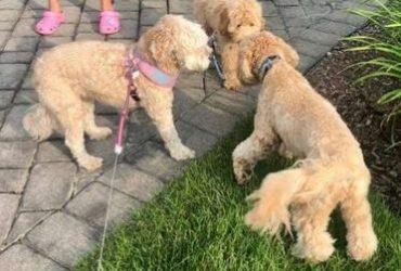 Looking for vet tech ,groomer/puppy caretaker (Orlando)