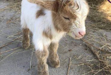 Please help.(free) goat (Humble)