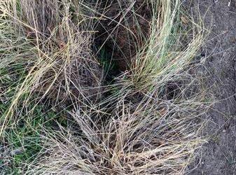 Pink muhly grass (SW Houston)
